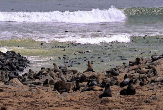 Stock Photo: 1597-135194 Cape Fur Seal, Arctocephalus pusillus, Otriidae, animal, Africa, breeding colony, Cape Cross, Atlantic Ocean, Namibia