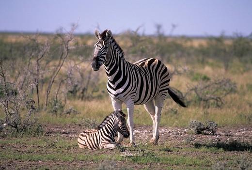Burchell´s zebra, Equus burchelli, Equidae, mare, filly, animal, Africa, Etosha National Park, Namibia : Stock Photo