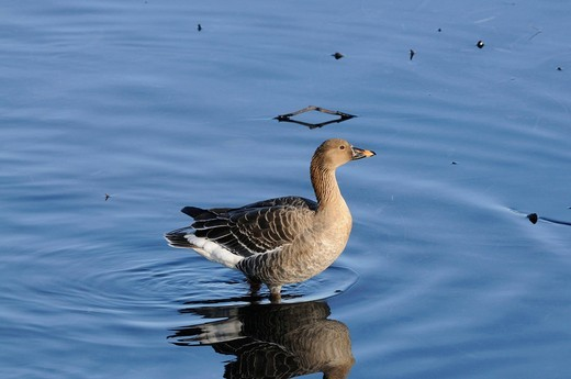 Bean goose, goose, wild goose, Anser fabialis, Anatidae, near Arbon, Lake of constance, Canton St. Gall, Switzerland : Stock Photo