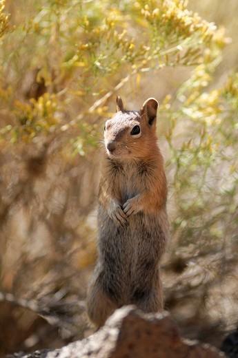 Golden Mantled, Ground Squirrel, squirrel, Spermophilus lateralis, High Desert, Oregon, USA, United States, America, : Stock Photo