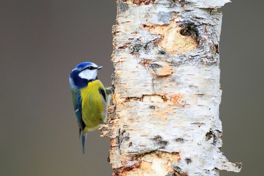 Stock Photo: 1597-138301 Branch, Knot, tree, Blue Tit, Cairngorms, Cyanistes caeruleus, food, eatings, titmouse, male, food, food search, national park, park, portrait, Scotland, Great Britain, trunk, search, wood, forest, blue, mature, food, eats, male, sit, stand,