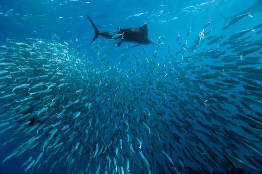 Sailfish, Sailfishes, Atlantic Sailfish, Atlantic Sailfishes, Billfish, Spearfish, Spear, Seafood, Swordfish, Swordfishes, Braodbill, Predator, Big Fish, Gamefish, Fish, Fishes, Foodfish, Food Fish, Istiophorus americanus, Istiophoridae, Sardine Run, Bait. Sailfish, Sailfishes, Atlantic Sailfish, Atlantic Sailfishes, Billfish, Spearfish, Spear, Seafood, Swordfish, Swordfishes, Braodbill, Predator, Big Fish, Gamefish, Fish, Fishes, Foodfish, Food Fish, Istiophorus americanus, Istiophoridae, Sardi : Stock Photo