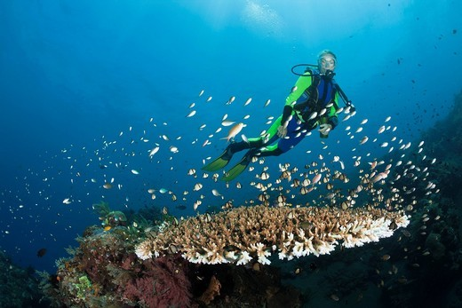 Scuba diver, scuba, diver, diving, dive, sportdiver, sportdiving, sport, hobby, adventure, holiday, tourist, tourism, vacation, Branching corals, Branching Coral, Scleractinia, Acropora, Acroporiddae, Stoney corals, Stone Corals, Staghorn Coral, corals, R. Scuba diver, scuba, diver, diving, dive, sportdiver, sportdiving, sport, hobby, adventure, holiday, tourist, tourism, vacation, Branching corals, Branching Coral, Scleractinia, Acropora, Acroporiddae, Stoney corals, Stone Corals, Staghorn Cora : Stock Photo