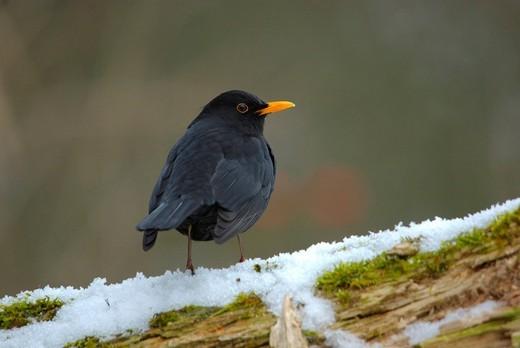 Stock Photo: 1597-139629 Swiss, Switzerland, Rheineck, avian, songbird, bird, birds, animal, blackbird, forest