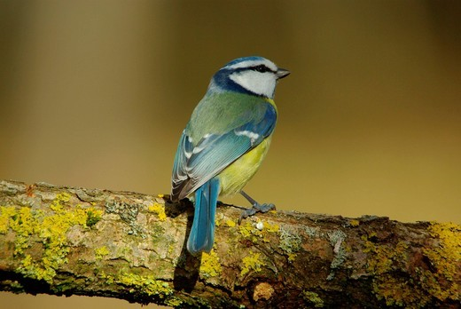 Swiss, Switzerland, Rheineck, avian, songbird, bird, birds, animal, blue tit, tit, forest, little : Stock Photo