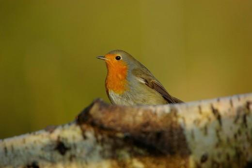 Swiss, Switzerland, Rheineck, avian, marsh tit, robin, bird, birds, animal, forest, little : Stock Photo