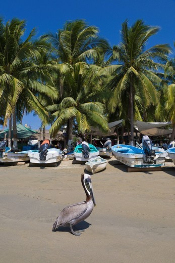 Zihuatanejo, Mexico, beach, Mexican, resort, bird, pelican, brown pelican, Pelicanus occidentalis, fishing village, fishing boats, Guerrero, people, vertical : Stock Photo