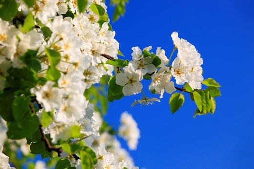 Stock Photo: 1597-139970 Agrarian, branch, knot, tree, pear tree, pear, pears, leaves, blossom, flourish, flower, splendour, detail, flora, spring, sky, pomes, pomes plants, agriculture, macro, close_up, nature, fruit, fruit_tree, Oetwil am See, plant, Pyrus domestica, Ranunculus. Agrarian, branch, knot, tree, pear tree, pear, pears, leaves, blossom, flourish, flower, splendour, detail, flora, spring, sky, pomes, pomes plants, agriculture, macro, close_up, nature, fruit, fruit_tree, Oetwil am See, plant, Pyrus domestica