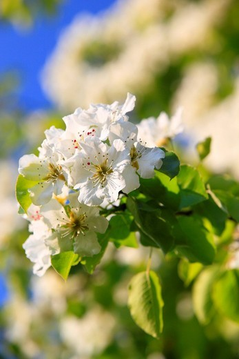 Agrarian, branch, knot, tree, pear tree, pear, pears, leaves, blossom, flourish, flower, splendour, detail, flora, spring, sky, pomes, pomes plants, agriculture, macro, close_up, nature, fruit, fruit_tree, Oetwil am See, plant, Pyrus domestica, Ranunculus. Agrarian, branch, knot, tree, pear tree, pear, pears, leaves, blossom, flourish, flower, splendour, detail, flora, spring, sky, pomes, pomes plants, agriculture, macro, close_up, nature, fruit, fruit_tree, Oetwil am See, plant, Pyrus domestica : Stock Photo