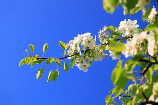 Stock Photo: 1597-139982 Agrarian, branch, knot, tree, pear tree, pear, pears, leaves, blossom, flourish, flower, splendour, detail, flora, spring, sky, pomes, pomes plants, agriculture, macro, close_up, nature, fruit, fruit_tree, Oetwil am See, plant, Pyrus domestica, Ranunculus. Agrarian, branch, knot, tree, pear tree, pear, pears, leaves, blossom, flourish, flower, splendour, detail, flora, spring, sky, pomes, pomes plants, agriculture, macro, close_up, nature, fruit, fruit_tree, Oetwil am See, plant, Pyrus domestica