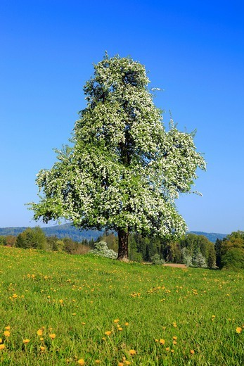 Agrarian, tree, pear tree, pear, pears, blossom, flourish, flower, splendour, field, flora, spring, crowfoot, buttercup, sky, pomes, pomes plants, agriculture, dandelion, nature, fruit, fruit_tree, Oetwil am See, plant, Switzerland, sunshine, pasture, wil. Agrarian, tree, pear tree, pear, pears, blossom, flourish, flower, splendour, field, flora, spring, crowfoot, buttercup, sky, pomes, pomes plants, agriculture, dandelion, nature, fruit, fruit_tree, Oetwil am See, plant, Switzerland, sunshine,  : Stock Photo