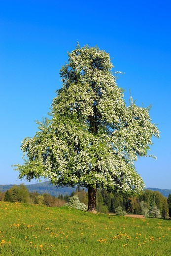 Stock Photo: 1597-139986 Agrarian, tree, pear tree, pear, pears, blossom, flourish, flower, splendour, field, flora, spring, crowfoot, buttercup, sky, pomes, pomes plants, agriculture, dandelion, nature, fruit, fruit_tree, Oetwil am See, plant, Switzerland, sunshine, pasture, wil. Agrarian, tree, pear tree, pear, pears, blossom, flourish, flower, splendour, field, flora, spring, crowfoot, buttercup, sky, pomes, pomes plants, agriculture, dandelion, nature, fruit, fruit_tree, Oetwil am See, plant, Switzerland, sunshine,