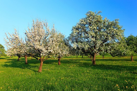 Agrarian, tree, pear tree, pear, pears, blossom, flourish, flower, splendour, field, flora, spring, crowfoot, buttercup, sky, pomes, pomes plants, agriculture, dandelion, nature, fruit, fruit_tree, Oetwil am See, plant, Pyrus domestica, Ranunculus acris,. Agrarian, tree, pear tree, pear, pears, blossom, flourish, flower, splendour, field, flora, spring, crowfoot, buttercup, sky, pomes, pomes plants, agriculture, dandelion, nature, fruit, fruit_tree, Oetwil am See, plant, Pyrus domestica, Ranuncu : Stock Photo