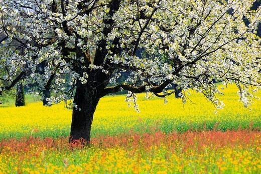 Stock Photo: 1597-140001 Agrarian, tree, trunk, blossom, flourish, flower, splendour, Cerasus, field, flora, spring, crowfoot, buttercup, sky, cherry tree, cherry tree blossom, flourish, cherry, agriculture, dandelion, nature, fruit, fruit_tree, Oetwil am See, plant, sorrel, crow. Agrarian, tree, trunk, blossom, flourish, flower, splendour, Cerasus, field, flora, spring, crowfoot, buttercup, sky, cherry tree, cherry tree blossom, flourish, cherry, agriculture, dandelion, nature, fruit, fruit_tree, Oetwil am See, plant,