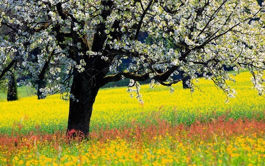 Agrarian, tree, trunk, blossom, flourish, flower, splendour, Cerasus, field, flora, spring, crowfoot, buttercup, sky, cherry tree, cherry tree blossom, flourish, cherry, agriculture, dandelion, nature, fruit, fruit_tree, Oetwil am See, plant, sorrel, crow. Agrarian, tree, trunk, blossom, flourish, flower, splendour, Cerasus, field, flora, spring, crowfoot, buttercup, sky, cherry tree, cherry tree blossom, flourish, cherry, agriculture, dandelion, nature, fruit, fruit_tree, Oetwil am See, plant,  : Stock Photo