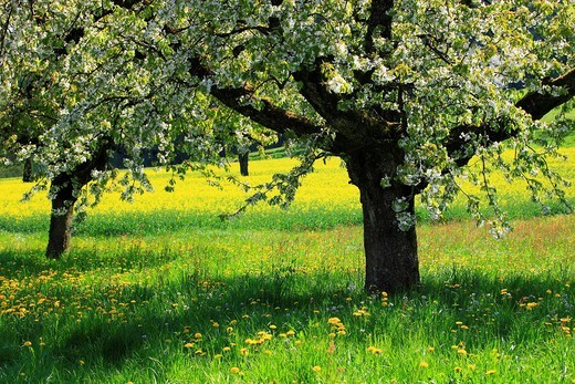 Agrarian, tree, trunk, blossom, flourish, flower, splendour, Cerasus, detail, field, flora, spring, crowfoot, buttercup, sky, cherry tree, cherry tree blossom, flourish, cherry, agriculture, nature, fruit, fruit_tree, Oetwil am See, plant, crowfoot, butte. Agrarian, tree, trunk, blossom, flourish, flower, splendour, Cerasus, detail, field, flora, spring, crowfoot, buttercup, sky, cherry tree, cherry tree blossom, flourish, cherry, agriculture, nature, fruit, fruit_tree, Oetwil am See, plant, cro : Stock Photo