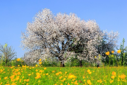 Stock Photo: 1597-140009 Agrarian, tree, blossom, flourish, flower, splendour, Cerasus, field, flora, spring, crowfoot, buttercup, sky, cherry tree, cherry tree blossom, flourish, cherry, agriculture, nature, fruit, fruit_tree, Oetwil am See, plant, crowfoot, buttercup, Switzerla. Agrarian, tree, blossom, flourish, flower, splendour, Cerasus, field, flora, spring, crowfoot, buttercup, sky, cherry tree, cherry tree blossom, flourish, cherry, agriculture, nature, fruit, fruit_tree, Oetwil am See, plant, crowfoot, buttercu