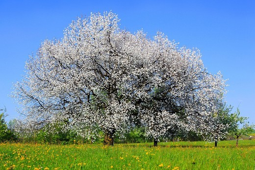 Stock Photo: 1597-140010 Agrarian, tree, blossom, flourish, flower, splendour, Cerasus, field, flora, spring, crowfoot, buttercup, sky, cherry tree, cherry tree blossom, flourish, cherry, agriculture, nature, fruit, fruit_tree, Oetwil am See, plant, crowfoot, buttercup, Switzerla. Agrarian, tree, blossom, flourish, flower, splendour, Cerasus, field, flora, spring, crowfoot, buttercup, sky, cherry tree, cherry tree blossom, flourish, cherry, agriculture, nature, fruit, fruit_tree, Oetwil am See, plant, crowfoot, buttercu