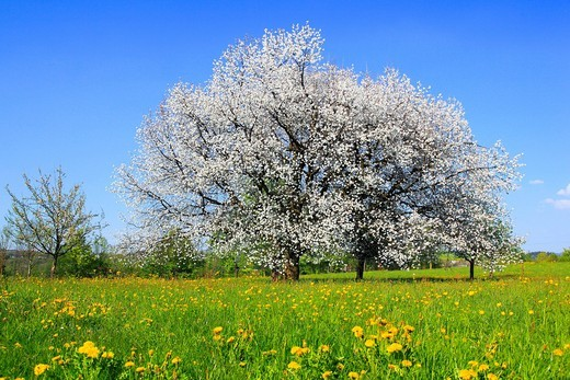 Stock Photo: 1597-140011 Agrarian, tree, blossom, flourish, flower, splendour, Cerasus, field, flora, spring, crowfoot, buttercup, sky, cherry tree, cherry tree blossom, flourish, cherry, agriculture, nature, fruit, fruit_tree, Oetwil am See, plant, crowfoot, buttercup, Switzerla. Agrarian, tree, blossom, flourish, flower, splendour, Cerasus, field, flora, spring, crowfoot, buttercup, sky, cherry tree, cherry tree blossom, flourish, cherry, agriculture, nature, fruit, fruit_tree, Oetwil am See, plant, crowfoot, buttercu