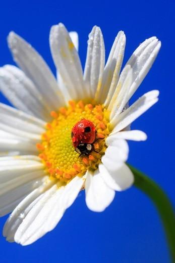 2, Adalia bipunctata, blossom, flower, flowers, splendour, flower meadow, blossom, flourish, blossoms, flourishes, petal, petals, Coccinellidae, detail, color, freshness, spring, spring, spring, garden, garden flower, sky, insect, beetle, Leucanthemum vul. 2, Adalia bipunctata, blossom, flower, flowers, splendour, flower meadow, blossom, flourish, blossoms, flourishes, petal, petals, Coccinellidae, detail, color, freshness, spring, spring, spring, garden, garden flower, sky, insect, beetle, Leuc : Stock Photo