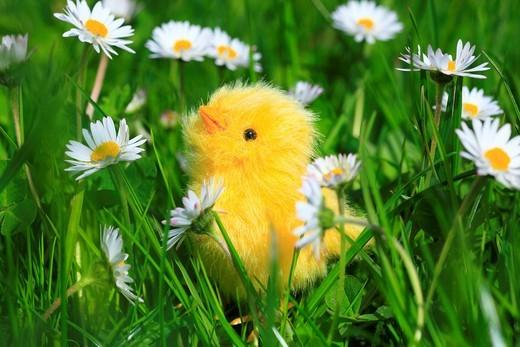 Stock Photo: 1597-140167 Bellis perennis, flower, flowers, splendour, blossom, flourish, detail, holiday, holidays, figure, spring, garden flower, goose´s flower, daisy, chicken, artificial, chicken, fledgling, macro, close_up, Easter chicken, Easter fledgling, Easter, Switzerlan. Bellis perennis, flower, flowers, splendour, blossom, flourish, detail, holiday, holidays, figure, spring, garden flower, goose´s flower, daisy, chicken, artificial, chicken, fledgling, macro, close_up, Easter chicken, Easter fledgling, Easter
