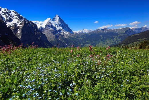Stock Photo: 1597-140944 Alp, alps, flora, view, mountain, mountain panorama, mountains, mountain spring, mountain massif, mountain panorama, mountain wall, Bern, Bernese Oberland, flowers, trees, Eiger, rock face, flora, spring, mountains, summit, peak, glacier, granite, Grindel. Alp, alps, flora, view, mountain, mountain panorama, mountains, mountain spring, mountain massif, mountain panorama, mountain wall, Bern, Bernese Oberland, flowers, trees, Eiger, rock face, flora, spring, mountains, summit, peak, glacier, gran