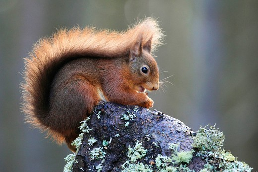 Stock Photo: 1597-141013 Branch, Knot, Cairngorms, national park, squirrel, food, eating, Eurasian Red Squirrel, European squirrel, feed, hazelnut, national, park, nut, portrait, Red Squirrel, Scotland, tail, Sciurus vulgaris, stock, supply, winter, full_grown, bushy, sit Eurasia. Branch, Knot, Cairngorms, national park, squirrel, food, eating, Eurasian Red Squirrel, European squirrel, feed, hazelnut, national, park, nut, portrait, Red Squirrel, Scotland, tail, Sciurus vulgaris, stock, supply, winter, full_grown, bushy,