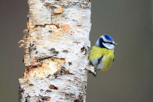 Stock Photo: 1597-141037 Branch, Knot, tree, blue tit, Blue Tit, Cairngorms, Cyanistes caeruleus, food, eatings, finch, Fringilla montifringilla, titmouse, male, food, food search, national, park, portrait, Scotland, trunk, search, wood, forest, full_grown, blue, food, eats, male. Branch, Knot, tree, blue tit, Blue Tit, Cairngorms, Cyanistes caeruleus, food, eatings, finch, Fringilla montifringilla, titmouse, male, food, food search, national, park, portrait, Scotland, trunk, search, wood, forest, full_grown, blue, food