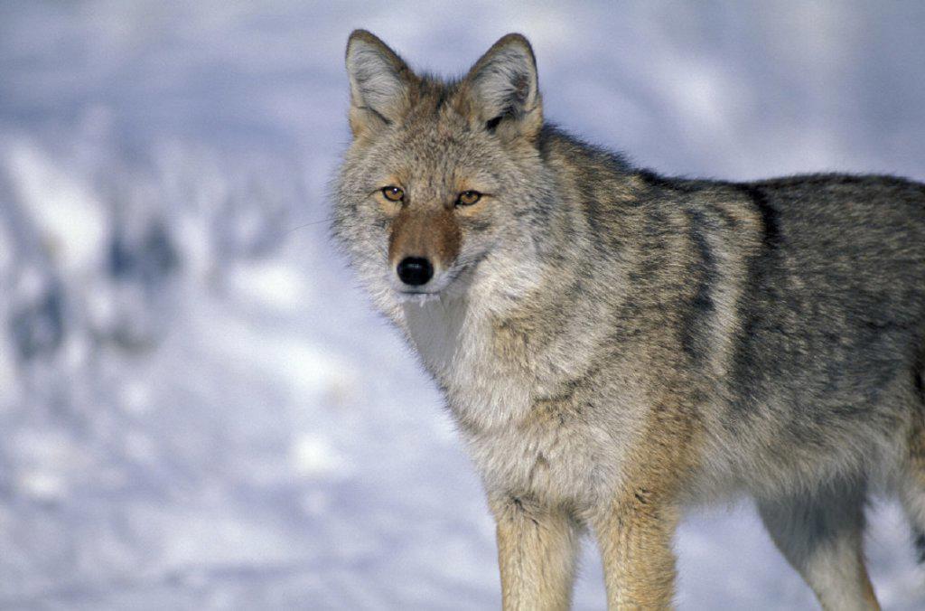 Stock Photo: 1597-14107 Alberta, animal, animals, Canada, North America, America, Canis latrans, Coyote, animal, Jasper, national park, port