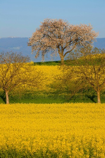 Mex, Switzerland, Europe, canton, Vaud, field, rape field, rape, trees, blossom, cherry tree, spring : Stock Photo