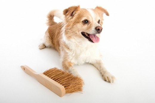 Dog, domestic animal, pet, dirt, mud, pollution, broom, besom, sweep, clean, well, cleaning, soiling, squalid : Stock Photo