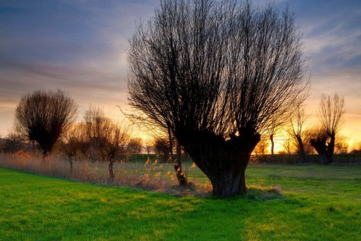 Altenrhein, Switzerland, Europe, canton St. Gallen, nature reserve, Lake of Constance, shore, trees, cropped willows, pastures, willows, meadow, evening mood sundown, spring : Stock Photo