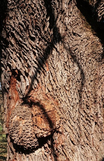 Bubendorf, Wildenstein, Switzerland, canton Basel_landscape, Baselland, tree, methusela, oak, bark, rind, Quercus robur, shadow : Stock Photo