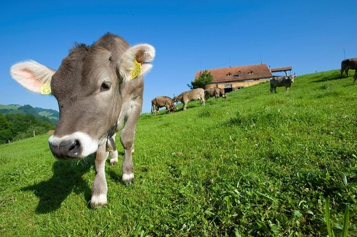 Stock Photo: 1597-143159 Switzerland, Europe, Appenzell, meadow, cow, cows, scenery, field, fields, agriculture, Eastern Switzerland, summer,