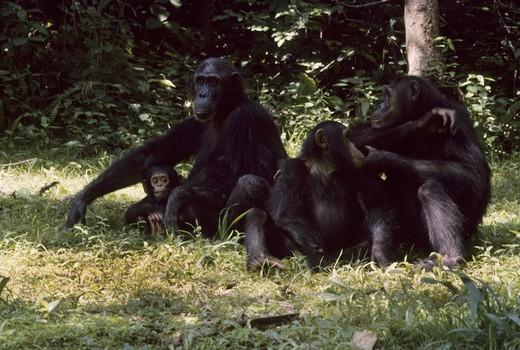 Stock Photo: 1597-143326 Chimpanzee, ape, monkey, animal, Pan troglodytes, Gombe Stream, National Park, Jane Goodall Camp, Tanzania, Africa