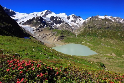 Stock Photo: 1597-144270 Alp, Alps, Alps, flora, Alps, rose, Alpine flora, Alpine panorama, Alpine rose, alpine rose, mountain, mountain panorama, mountains, mountain flora, mountain spring, mountain panorama, mountain lake, summer, canton Bern, Bernese Oberland, ice, flora, spri. Alp, Alps, Alps, flora, Alps, rose, Alpine flora, Alpine panorama, Alpine rose, alpine rose, mountain, mountain panorama, mountains, mountain flora, mountain spring, mountain panorama, mountain lake, summer, canton Bern, Bernese Oberland, ice,