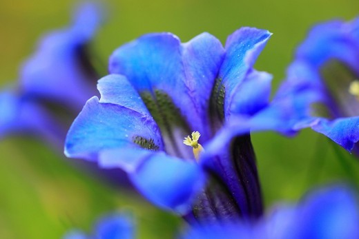 Stock Photo: 1597-144321 Alps, Alps, gentian, Alpine flower, Alpine flora, mountain, mountain flower, mountains, mountain pasture, canton Bern, Bernese Oberland, flowers, blossom, flourish, detail, gentian, flora, mountains, Gentiana acaulis, Gentiana alpina, macro, close_up, Swi. Alps, Alps, gentian, Alpine flower, Alpine flora, mountain, mountain flower, mountains, mountain pasture, canton Bern, Bernese Oberland, flowers, blossom, flourish, detail, gentian, flora, mountains, Gentiana acaulis, Gentiana alpina, macro, c