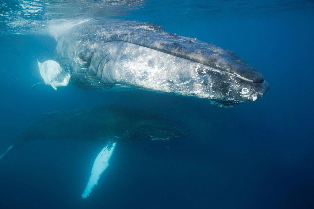 Stock Photo: 1597-145488 Humpback Whale, Megaptera novaeangliae, Silver Bank, Atlantic Ocean, Dominican Republic, Humpback Whale, Whale, Whales, Balaenopteridae, Mysticeti, Cetacea, Eutheria, mammalia, chordata, Animalia, Animal, Marine Mammal, Mammals, Baleen, rorqual, whalebone. Humpback Whale, Megaptera novaeangliae, Silver Bank, Atlantic Ocean, Dominican Republic, Humpback Whale, Whale, Whales, Balaenopteridae, Mysticeti, Cetacea, Eutheria, mammalia, chordata, Animalia, Animal, Marine Mammal, Mammals, Baleen, rorqua