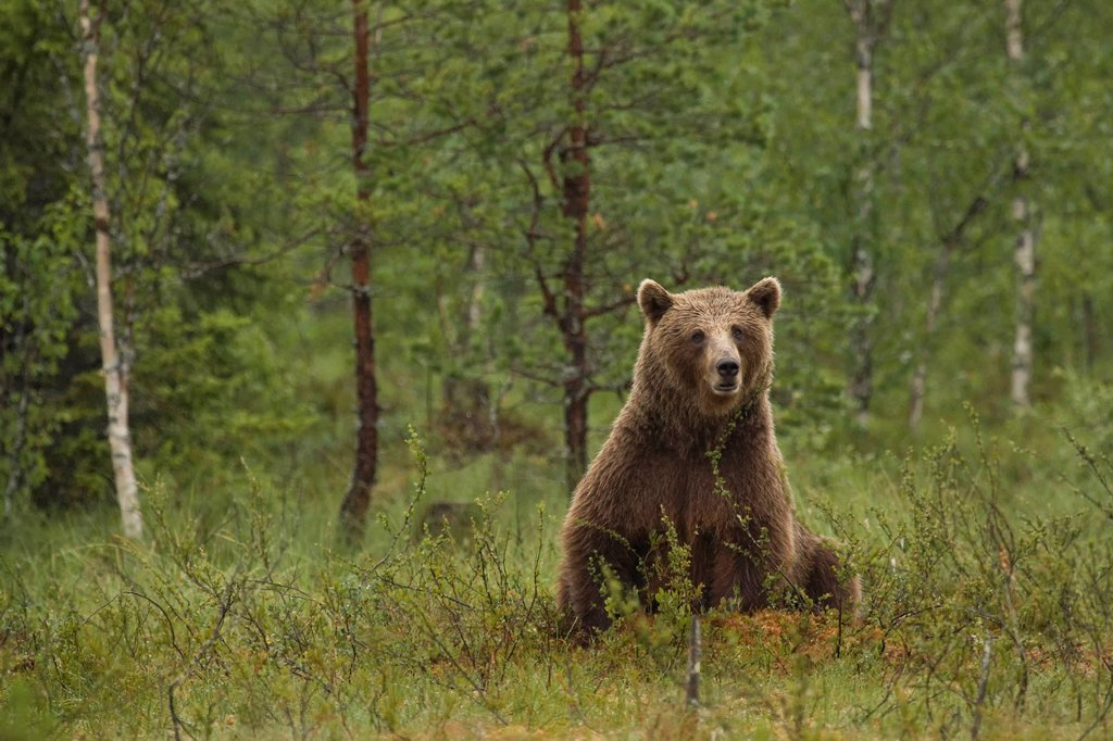 Stock Photo: 1597-145503 Europe, Scandinavia, Finland, wilderness, Wildlife, freedom, liberty, bear, wild animals, predators, animals, animal, omnivore, land predator, brown bear, mammal, nature, bear mother, observe, attention, careful, sit,