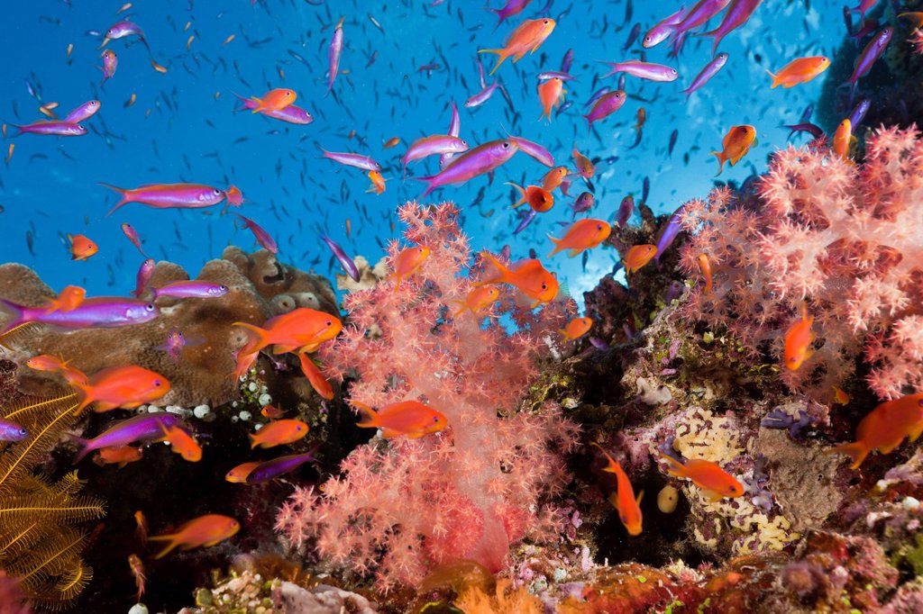 Anthias, Coral Reef, Luzonichthys whitleyi, Pseudanthias squamipinnis, Makogai, Lomaviti, Fiji, Soft corals, Soft coral, Soft Corals, Coral, corals, Reef, Reefs, Coral reef, Coral reefs, coral reef, Anthozoans, Anthozoa, Luzonichthys whitleyi, Pseudanthia. Anthias, Coral Reef, Luzonichthys whitleyi, Pseudanthias squamipinnis, Makogai, Lomaviti, Fiji, Soft corals, Soft coral, Soft Corals, Coral, corals, Reef, Reefs, Coral reef, Coral reefs, coral reef, Anthozoans, Anthozoa, Luzonichthys whitleyi, : Stock Photo