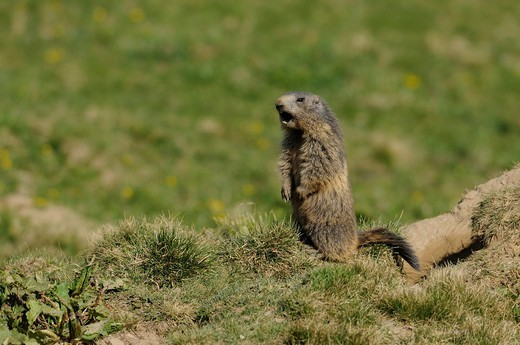 Alpine Marmot, Marmota marmota, Scuiridae, animal, mammal, whistling, Alp Präz, Canton, Grisons, Switzerland : Stock Photo
