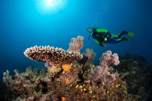 Scuba Diver, Coral Reef, Wakaya, Lomaiviti, Fiji, Table coral, Table Corals, Table coral, Branching corals, Branching Coral, Scleractinia, Acropora, Acroporiddae, Stoney corals, Stone Corals, Staghorn Coral, corals, Reef, Reefs, Coral reef, Coral reefs, c. Scuba Diver, Coral Reef, Wakaya, Lomaiviti, Fiji, Table coral, Table Corals, Table coral, Branching corals, Branching Coral, Scleractinia, Acropora, Acroporiddae, Stoney corals, Stone Corals, Staghorn Coral, corals, Reef, Reefs, Coral reef, Co : Stock Photo
