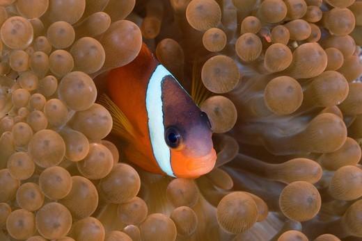 Tomato Anemone fish, Amphiprion frenatus, Gau, Lomaiviti, Fiji, Clownfish, Clown fish, Anemone fish, Anemonefishes, Fish, fishes, Perciformes, Amphiprioninae, Nemo, Coalfish, Coral fishes, Symbiosis, Symbiotic, Sea anemone, sea anemone, Anemones, Actiniid. Tomato Anemone fish, Amphiprion frenatus, Gau, Lomaiviti, Fiji, Clownfish, Clown fish, Anemone fish, Anemonefishes, Fish, fishes, Perciformes, Amphiprioninae, Nemo, Coalfish, Coral fishes, Symbiosis, Symbiotic, Sea anemone, sea anemone, Anemon : Stock Photo