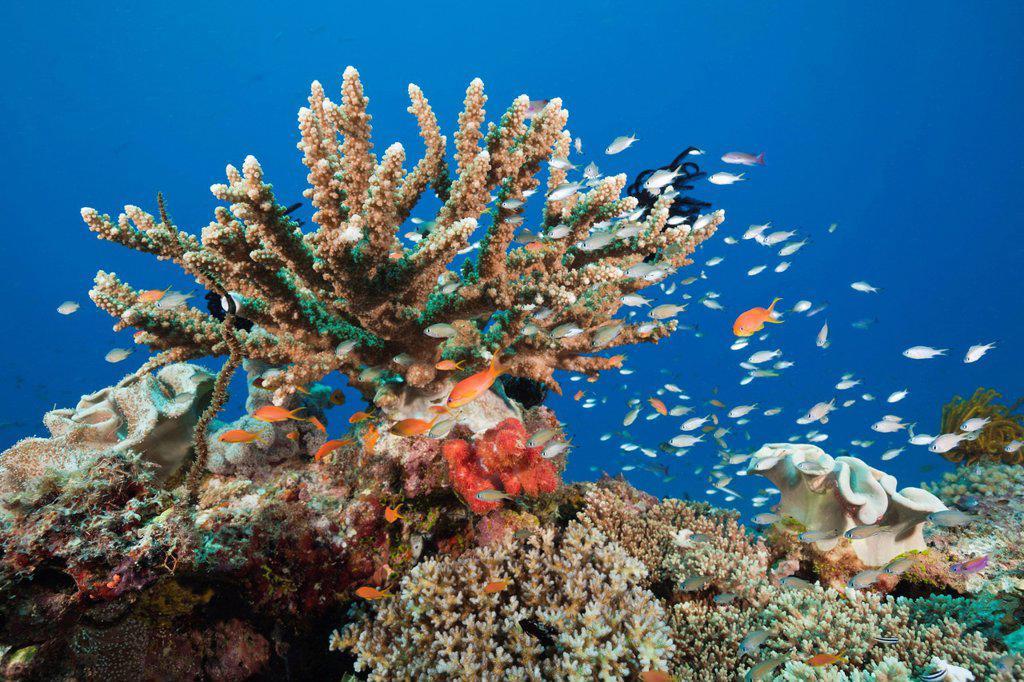 Stock Photo: 1597-146100 Coral Reef, Gau, Lomaiviti, Fiji, Branching corals, Branching Coral, Scleractinia, Acropora, Acroporiddae, Stoney corals, Stone Corals, Staghorn Coral, corals, Reef, Reefs, Coral reef, Coral reefs, coral reef, Anthozoans, Anthozoa, Hard corals, Hard Coral. Coral Reef, Gau, Lomaiviti, Fiji, Branching corals, Branching Coral, Scleractinia, Acropora, Acroporiddae, Stoney corals, Stone Corals, Staghorn Coral, corals, Reef, Reefs, Coral reef, Coral reefs, coral reef, Anthozoans, Anthozoa, Hard corals