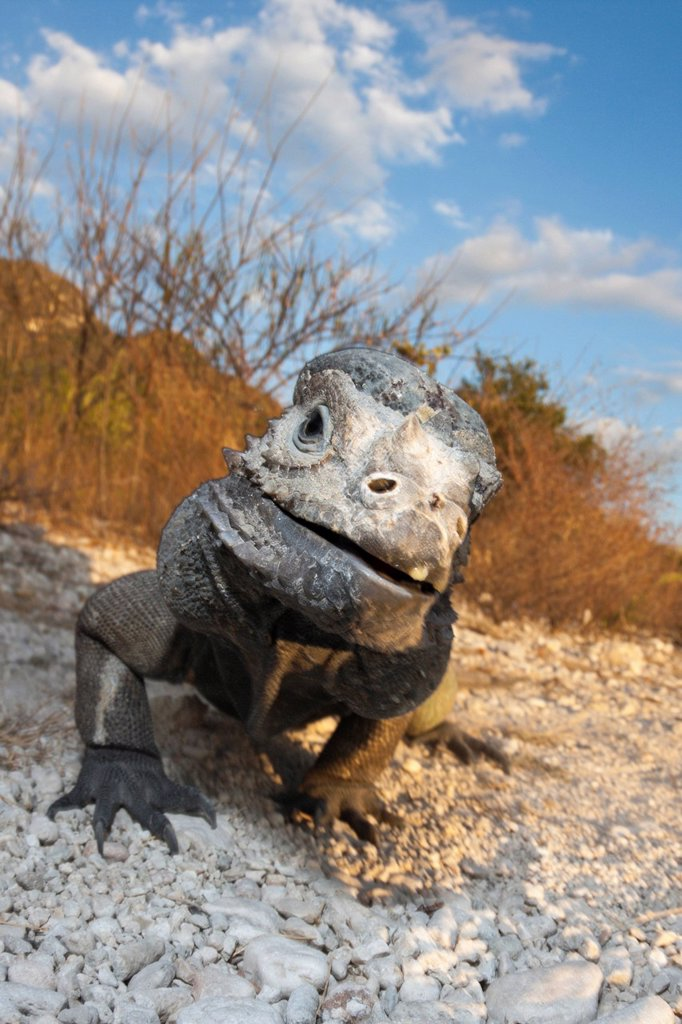 Stock Photo: 1597-146456 Rhinoceros Iguana, Cyclura cornuta, Isla Cabritos, National Park, Lago Enriquillo, Dominican Republic, Rhinoceros, Iguana, Iguanas, Rock Iguana, Cyclurids, Iguanidae, endemic, Reptile, Reptiles, Monitor, Lizard, Lizards, Squamata, Sauropsida, Tetrapoda, c. Rhinoceros Iguana, Cyclura cornuta, Isla Cabritos, National Park, Lago Enriquillo, Dominican Republic, Rhinoceros, Iguana, Iguanas, Rock Iguana, Cyclurids, Iguanidae, endemic, Reptile, Reptiles, Monitor, Lizard, Lizards, Squamata, Sauropsida,