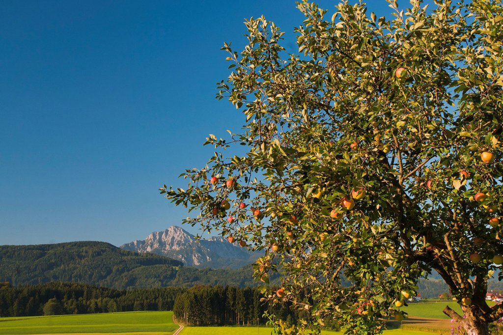 Stock Photo: 1597-146612 Europe, Germany, Bavaria, Upper Bavaria, Berchtesgaden country, season, meadow, agriculture, fruit, fruit_tree, apple, apple tree, apple trees, trees, agricultural, rural, farmer, fruit farmer, fruit, apple, apples, ripe, ripe fruit, pick, sweet, red, bra. Europe, Germany, Bavaria, Upper Bavaria, Berchtesgaden country, season, meadow, agriculture, fruit, fruit_tree, apple, apple tree, apple trees, trees, agricultural, rural, farmer, fruit farmer, fruit, apple, apples, ripe, ripe fruit, pick, swe