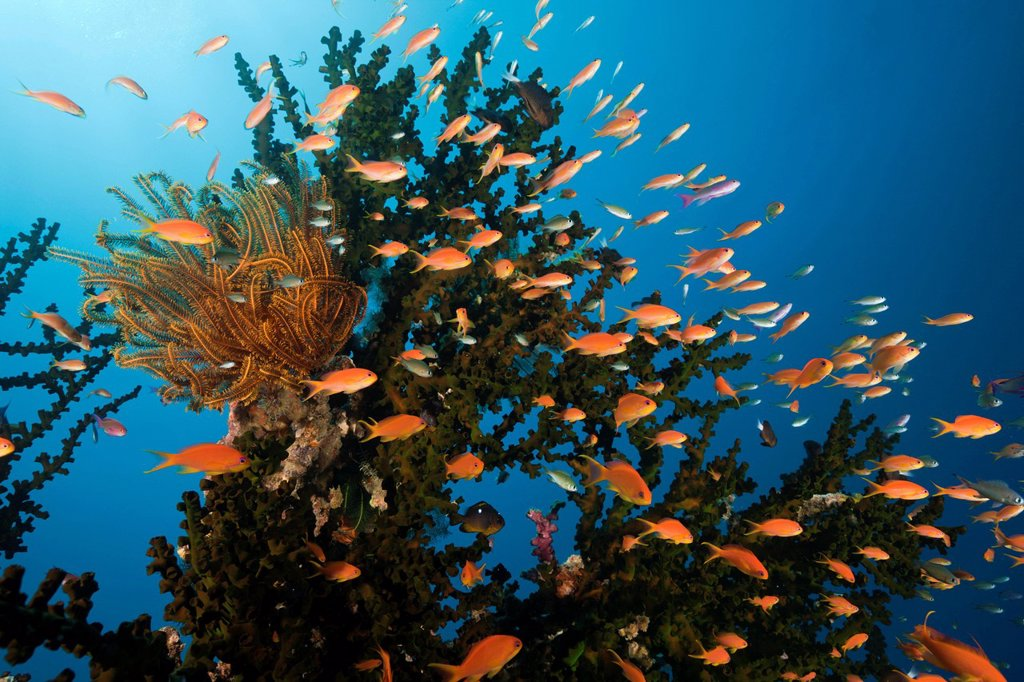 Stock Photo: 1597-146756 Lyretail Anthias, Coral Reef, Pseudanthias squamipinnis, Namena, Marine, Reserve, Fiji, Cup Coral, Cave Coral, Tube Coral, Madreporaria, Tubastrea, Stoney corals, Stone Corals, Anthozoans, Anthozoa, Hard corals, Hard Coral, Reef, Reefs, Coral reef, Coral. Lyretail Anthias, Coral Reef, Pseudanthias squamipinnis, Namena, Marine, Reserve, Fiji, Cup Coral, Cave Coral, Tube Coral, Madreporaria, Tubastrea, Stoney corals, Stone Corals, Anthozoans, Anthozoa, Hard corals, Hard Coral, Reef, Reefs, Coral r