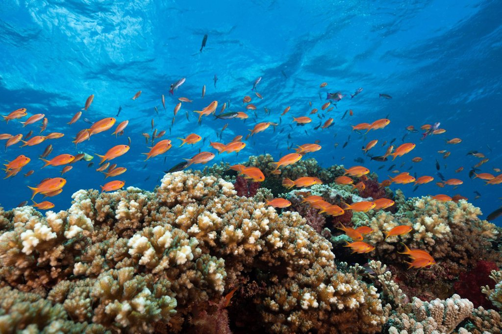 Stock Photo: 1597-146760 Lyretail Anthias, Coral Reef, Pseudanthias squamipinnis, Gau, Lomaiviti, Fiji, Branching corals, Branching Coral, Scleractinia, Acropora, Acroporiddae, Stoney corals, Stone Corals, Staghorn Coral, corals, Reef, Reefs, Coral reef, Coral reefs, coral reef,. Lyretail Anthias, Coral Reef, Pseudanthias squamipinnis, Gau, Lomaiviti, Fiji, Branching corals, Branching Coral, Scleractinia, Acropora, Acroporiddae, Stoney corals, Stone Corals, Staghorn Coral, corals, Reef, Reefs, Coral reef, Coral reefs, c