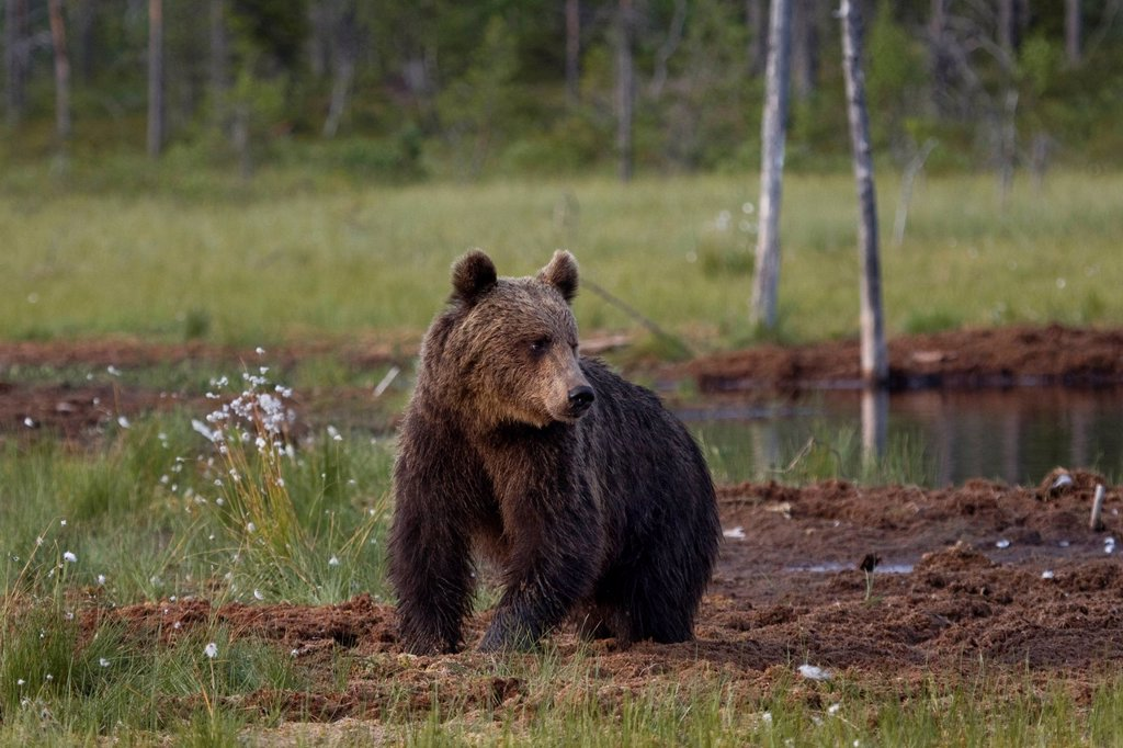 Stock Photo: 1597-146792 Europe, Scandinavia, Finland, wilderness, Wildlife, freedom, liberty, bear, wild animals, predators, animals, animal, omnivore, land predator, brown bear, mammal, nature, marsh, observe, careful, attention