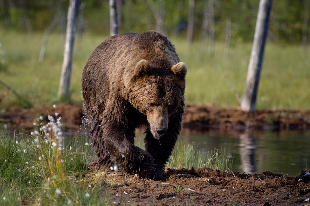 Europe, Scandinavia, Finland, wilderness, Wildlife, freedom, liberty, bear, wild animals, predators, animals, animal, omnivore, land predator, brown bear, mammal, nature, walk, bath, wet, lake, male, : Stock Photo
